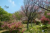 20130309陽明山北投三芝櫻花:DSCN2362.JPG