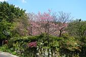 20130228陽明山櫻花:DSCN2301.JPG