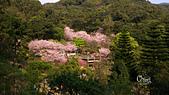 20130309陽明山北投三芝櫻花:DSC_0618.jpg