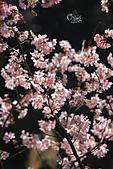 20130228陽明山櫻花:IMG_9674.JPG