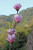 20170219楓樹湖木蘭花:IMG_8689.JPG