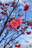 20130202陽明山櫻花:IMG_7749.JPG