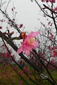 20130203清大櫻花:DSCN2025.JPG
