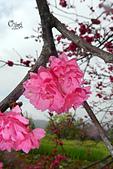 20130202陽明山櫻花:DSCN1934.JPG