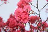 20130202陽明山櫻花:IMG_8069.JPG