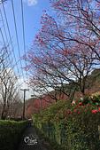 20130202陽明山櫻花:IMG_7886.JPG