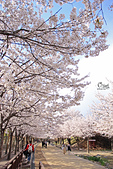 20180330-0410韓國賞櫻(下):IMG_3438.JPG