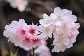 20130224中正紀念堂櫻花:IMG_9496.JPG