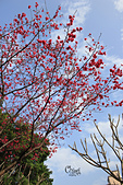 20130214中正紀念堂櫻花:IMG_8181.JPG