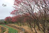 20130202陽明山櫻花:IMG_7667.JPG