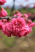 20130202陽明山櫻花:IMG_7753.JPG