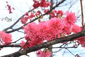 20130202陽明山櫻花:IMG_8004.JPG