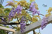 20140406紫藤咖啡園:IMG_0528.JPG