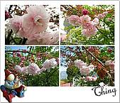 20100328-0329阿里山賞櫻:IMG_6585.JPG