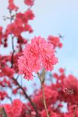 20130202陽明山櫻花:IMG_8075.JPG