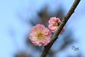 20130214中正紀念堂櫻花:IMG_8219.JPG