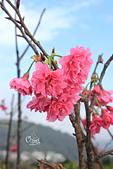 20130202陽明山櫻花:IMG_7765.JPG