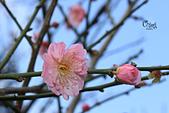 20130214中正紀念堂櫻花:IMG_8233.JPG