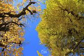 20161201-1206日本東京銀杏+河口湖富士山:IMG_7208.JPG