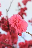 20130202陽明山櫻花:IMG_8076.JPG
