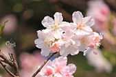 20130224中正紀念堂櫻花:IMG_9502.JPG