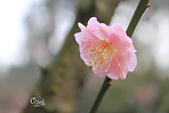 20130214中正紀念堂櫻花:IMG_8258.JPG