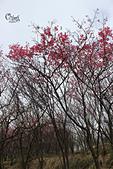 20130202陽明山櫻花:IMG_7669.JPG