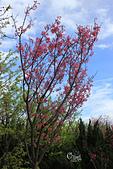 20130202陽明山櫻花:IMG_7771.JPG