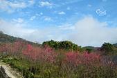 20130202陽明山櫻花:DSCN1942.JPG