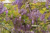 20140406紫藤咖啡園:IMG_0538.JPG