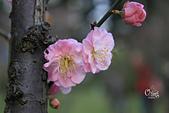 20130214中正紀念堂櫻花:IMG_8265.JPG