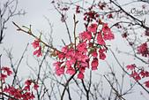 20130202陽明山櫻花:IMG_7670.JPG