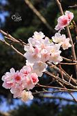 20130224中正紀念堂櫻花:IMG_9508.JPG