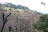 20130202陽明山櫻花:IMG_8017.JPG