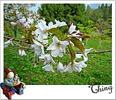 20100328-0329阿里山賞櫻:IMG_6678.JPG