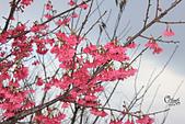20130126平等里櫻花:IMG_7577.JPG
