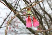 20130202陽明山櫻花:IMG_7675.JPG