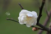 20130214中正紀念堂櫻花:IMG_8277.JPG