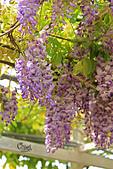 20140406紫藤咖啡園:IMG_0542.JPG