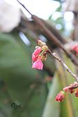 20130202陽明山櫻花:IMG_7703.JPG