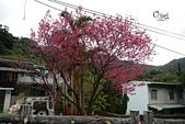 20130202陽明山櫻花:DSCN1894.JPG