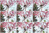 20130214中正紀念堂櫻花:IMG_8515.jpg
