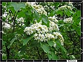 20100422土城三峽桐花:IMG_7237.JPG