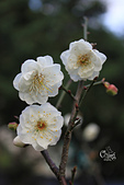 20130214中正紀念堂櫻花:IMG_8302.JPG