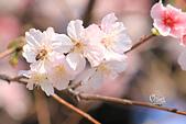 20130224中正紀念堂櫻花:IMG_9511.JPG