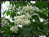 20100422土城三峽桐花:IMG_7244.JPG