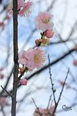 20130126平等里櫻花:IMG_7589.JPG