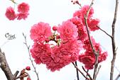 20130202陽明山櫻花:IMG_7800.JPG