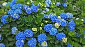 20130526竹子湖繡球花:DSC_0084.jpg