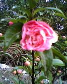 Joy&山茶花&Cherry:照片 007.jpg